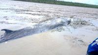 Warga Sungai Kong di Kabupaten Ogan Komering Ilir Sumsel menemukan ikan paus sepanjang 7 meter yang terdampar di tepian sungai (Dok. Humas Pemkab Ogan Komering Ilir / Nefri Inge)