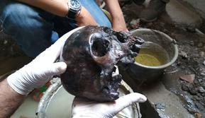 Penampkan tengkorak manusia bagian kepala disinyalir berusia 400 tahun. Foto (Liputan6.com / Panji Prayitno)
