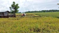 Salah satu lahan sawah yang siap dipanen oleh petani dan penyuluh pertanian.