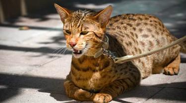 Ini Dia 10 Ras Kucing Termahal di Dunia Tahun 2021