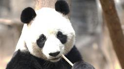 Seekor panda tengah bersantai di Kebun Binatang Wuhan di Wuhan, Provinsi Hubei, China tengah, pada 13 Maret 2020. Puluhan karyawan di kebun binatang tersebut tetap melakukan pekerjaan mereka dengan memberi makan dan disinfeksi pada hampir seribu hewan di sana. (Xinhua/Str)