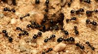 Cara Mengusir Semut (Sumber: istock)