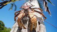 Kepiting kelapa atau umang-umang kenari bisa berkembang hingga 1 meter. (News.com.au)