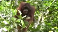 Orangutan   Via:: liputan6.com