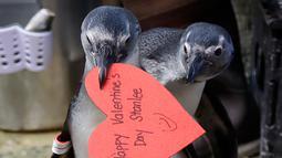 Penguin Afrika membawa sarang berbentuk hati yang dibagikan di Akademi Ilmu Pengetahuan California, San Francisco, Selasa (12/2). Hati dibagikan kepada penguin yang secara alami menggunakan bahan serupa untuk membangun sarang di alam liar. (AP/Jeff Chiu)