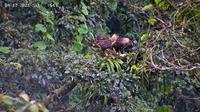 Elang jawa dalam pengamatan tim Taman Nasional Gunung Halimun Salak. (dok. Biro Humas KLHK)