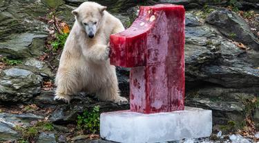 Beruang kutub Hertha memeriksa bongkahan es berisi ikan, buah, dan sayuran di Kebun Binatang Berlin, Jerman, Minggu (1/12/2019). Hertha mendapatkan hadiah tersebut bertepatan dengan ulang tahun pertamanya. (Paul Zinken/dpa via AP)