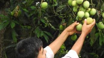 Inovasi Unik, Petani Ini Ciptakan Mangga Berbentuk Seperti Apel dan Rasanya Seperti Pisang