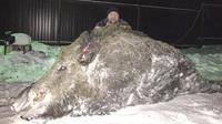 Peter Maximov, menjadi orang yang paling beruntung karena berhasil membawa babi hutan raksasa yang memiliki berat 500 kilogram.