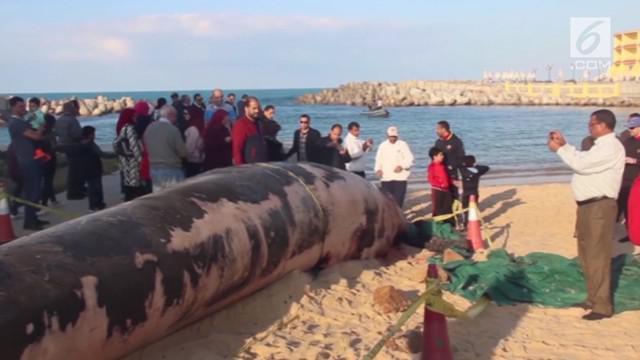 Seekor paus sepanjang 14 meter terdampar di pinggir pantai di Mesir.