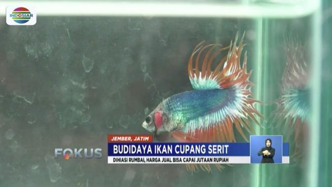 Perjodohan Ikan Cupang Serit Pendulang Rupiah News Liputan6 Com