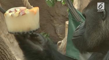 Kebun Binatang Praha di Republik Ceko memberikan es krim dari buah-buahan untuk gorila dataran rendah. Lantaran wilayah tersebut tengah dilanda cuaca panas 32 derajat Celcius.