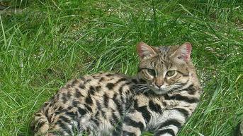 Mengenal Felis Nigripes, Kucing Afrika yang Paling Mematikan Sedunia