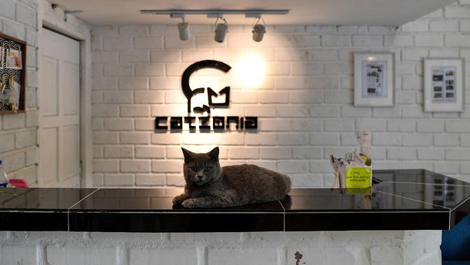 Seekor kucing British Shorthair bernama Cacat duduk di atas meja resepsionis hotel CatZonia di Shah Alam, Kuala Lumpur, Malaysia, 6 Agustus 2018. CatZonia menyebut diri sebagai hotel bintang 5 pertama  khusus untuk kucing. (AFP/Manan VATSYAYANA)#source%3Dgooglier%2Ecom#https%3A%2F%2Fgooglier%2Ecom%2Fpage%2F%2F10000