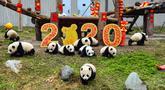 Anak-anak panda yang lahir pada tahun 2019 bermain di dekat dekorasi untuk menyambut Tahun Baru Imlek di tempat perlindungan Shenshuping di Cagar Alam Nasional Wolong, provinsi Sichuan, Jumat (20/1/2020). Imlek 2020 atau tahun baru Cina 2571 jatuh pada 25 Januari mendatang. (STR / AFP)
