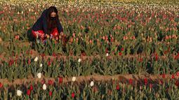"""Seorang wanita memetik bunga tulip di ladang tulip """"Tulipani Italiani"""", yang ditanam oleh pasangan Belanda di Arese, Milan, Italia (15/4/2021). Pasangan ini menanam 250.000 tulip dari 183 varietas yang berbeda untuk menciptakan tradisi Belanda. (AP Photo/Antonio Calanni)"""