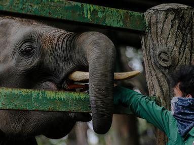 Petugas memberi makan gajah di Taman Margasatwa Ragunan, Jakarta Selatan, Senin (20/4/2020). Pihak pengelola Taman Margasatwa Ragunan tetap melakukan perawatan terhadap seluruh satwa selama pandemi virus corona COVID-19. (Liputan6.com/Faizal Fanani)