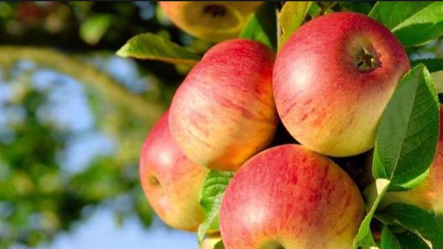 Kementerian Perdagangan (Kemendag) mengeluarkan larangan perdagangan produk apel jenis Granny Smith dan Gala produksi Bidart Bros.