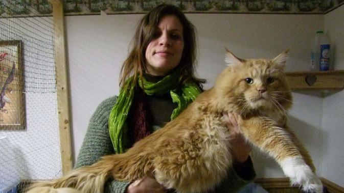 Kenalan Dengan Maine Coon Ras Kucing Terbesar Di Dunia