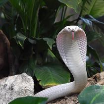 Seekor induk kobra leucistic monocled di kandang ular Kebun Binatang Planet Exotica, Royan, Prancis, Rabu (31/1). Bayi-bayi kobra leucistic monocled akan dipertunjukkan ke publik mulai tanggal 10 Februari. (MEHDI FEDOUACH/AFP)