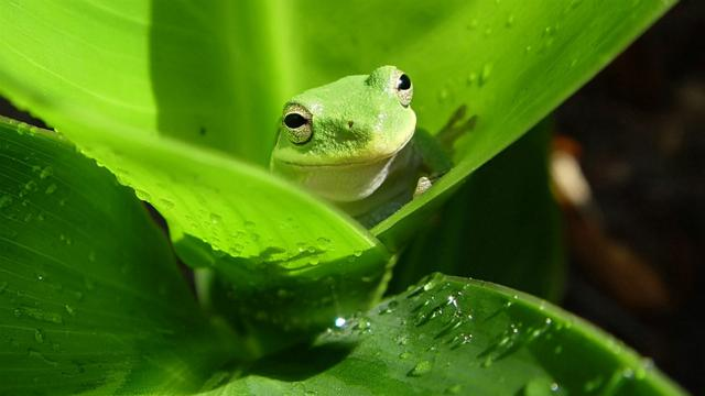 Austalia green tree frog (0)