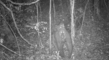 Foto yang diambil oleh jebakan kamera menunjukkan sekelompok gorila Cross River di Pegunungan Mbe di Nigeria pada 27 Mei 2020. Dalam perburuan yang langka, konservasionis telah menangkap gambar baru gorila paling langka di dunia dengan beberapa bayinya. (WCS Nigeria via AP)