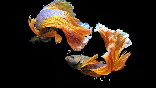 Cara Mengawinkan Ikan Cupang Mudah Namun Perlu Kesabaran Dan Ketelitian Hot Liputan6 Com