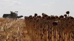 Petani memanen bunga matahari di sebuah ladang di Provinsi Edirne, Turki, 26 Agustus 2020. Sedat Kacar, petani Turki yang memiliki dua ladang, menyatakan kesedihannya karena hasil panen diperkirakan menurun akibat cuaca ekstrem saat perekonomian negarajuga terpukul oleh pandemi. (Xinhua/Osman Orsal)