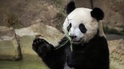Anak panda, Yuan Meng bermain dengan bambu di kandangnya di Zoo de Beauval. Prancis pada 26 Agustus 2019. Ibu Yuan Meng dan bapaknya, Yuan Zi, merupakan pinjaman dari China yang bertujuan menekankan hubungan yang baik dengan Prancis. (GUILLAUME SOUVANT / AFP)