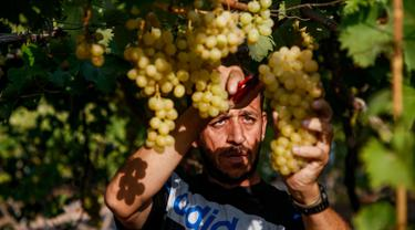 Petani memanen buah anggur di sebuah pertanian di Kota Gaza, Palestina, Selasa (6/8/2019). Bertani merupakan mata pencaharian utama penduduk Palestina, termasuk di Gaza. (Mohammed ABED/AFP)