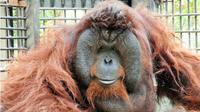 Orangutan Bento. (Liputan6.com/Abdul Jalil)