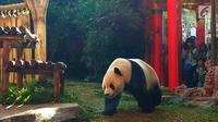 Panda Cai Tao bersiap mengambil tumpeng yang di dalamnya berisi wortel dan batang, daun serta irisan bambu, makanan kesukaannya hadiah ulang tahunnya ke-8 dari pengelola Taman Safari Indonesia Jawa Barat, Sabtu (4/8/2018). (Liputan6.com/Achmad Sudarno)