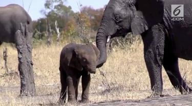 Seekor bayi gajah di Taman Nasional Kruger tidak memiliki belalai diduga belalai hilang diterkam buaya.