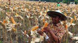Seorang petani memanen jagung di Tuban, Jawa Timur, Jumat (9/3). Jagung tersebut dihargai Rp 3.000 - Rp 3.200 per kilogram. (Liputan6.com/Angga Yuniar)