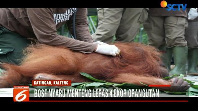 Aktivitas ini merupakan pelepasan orangutan pertama di tahun 2018, sekaligus untuk memperingati Hari Sejuta Pohon Sedunia.
