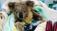 Koala dihinggapi kutu yang dirawat Rumah Sakit Rumah Sakit Margasatwa Currumbin. (Currumbin Wildlife Hospital)