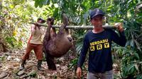 Warga Grantung, Karangmoncol, Purbalingga berhasil menangkap dua ekor celeng atau babi hutan dalam perburuan, Minggu, 8 September 2019. (Foto: Liputan6.com/Kominfo PBG/Muhamad Ridlo)