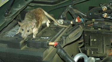 Tikus di Mesin Mobil