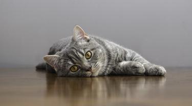 Tanda Kucing Sedang Kesakitan, Segera Bawa ke Dokter Hewan untuk Perawatan