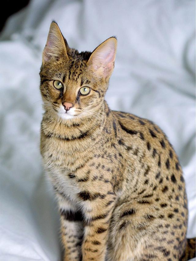 Kucing savana