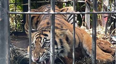 Harimau betina yang diberi Kanti Marama dievakuasi dari kebun kelapa sawit di Pasaman Barat. (Liputan6.com/ BKSDA Sumbar)