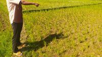 Ketua Kelompk Tani 'Warga Tani' Dana Supriadi, tengah menunjukan area pesawahan di blok kampung Bangkonol, Sukawening, Garut, Jawa Barat, yang mulai mengering akibat ketiadaan sumber air seiring masuknya musim kemarau tahun ini. (Liputan6.com/Jayadi Supriadin)