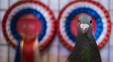 Seekor merpati pemenang kontes dalam acara tahunan British Homing World Show di Winter Gardens, Blackpool, Minggu (20/1). Setiap Januari, sekitar 15.000 orang berkumpul pada pertemuan peternak merpati terbesar di Inggris tersebut. (OLI SCARFF/AFP)