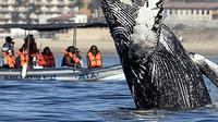 Wisatawan berada di atas perahu menonton paus bungkuk melompat dari air di perairan Samudera Pasifik di Los Cabos, Meksiko (14/3). (AFP/Fernando Castillo)