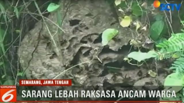 Jutaan lebah penyengat yang muncul dari kedua sarang raksasa tersebut dikhawatirkan menyerang warga.