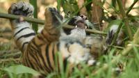 Dua dari tiga anak harimau Sumatra terlihat setelah untuk pertama kalinya dilepas ke kandang terbuka di Kebun Binatang Toranga, Sydney, Jumat (29/3/2019). Di dalam kandangnya, tiga anak ekor anak harimau tersebut berlari-lari, bermain hingga digendong oleh petugas kebun Binatang. (PETER PARKS / AFP)