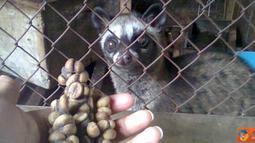 Citizen6, Semarang: Kopi luwak diyakini sebagai kopi termahal di dunia karena prosesnya yang sangat unik dan rumit. Seperti produksi kopi fermentasi luwak murni di lereng kelir wonokasihan, Kabupaten Semarang. (Pengirim: Afif Ahmadin)
