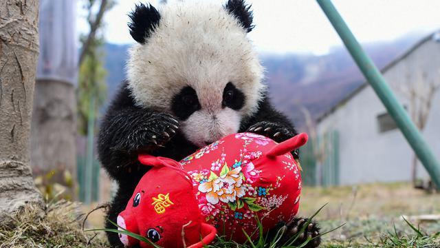 Panda Menyambut Tahun Baru Imlek