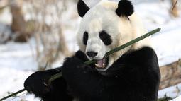 Seekor panda raksasa menyantap bambu di Rumah Panda Xining yang diselimuti salju di Xining, ibu kota Provinsi Qinghai, China barat laut, pada 21 November 2020. (Xinhua/Wu Gang)
