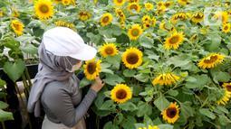 Pengunjung melihat tanaman bunga matahari di Bogor Sky Garden, Mall BTM, Kota Bogor, Jawa Barat, Minggu (13/06/2021). Taman bunga matahari di atap gedung pusat perbelanjaan itu menjadi wisata alternatif secara gratis bagi pengunjung dalam mengisi libur akhir pekan. (merdeka.com/Arie Basuki)